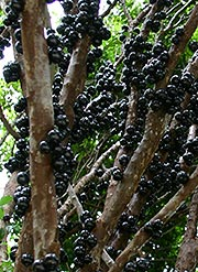 Jaboticaba wine berries